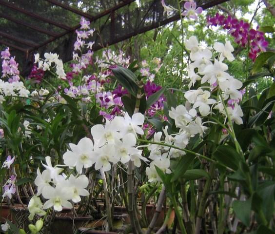 Orchid_plants