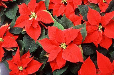 Poinsettia_flowers