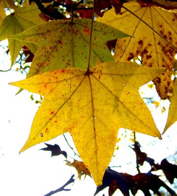 Sweetgum-leaf5